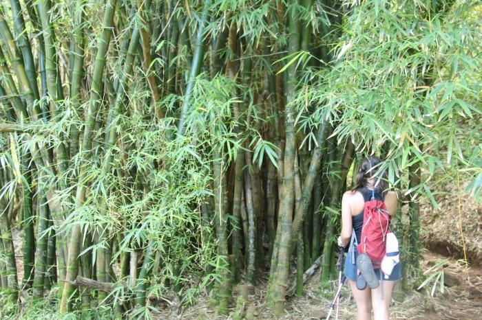 Bamboo on the trail to Hanakapi'ai Falls