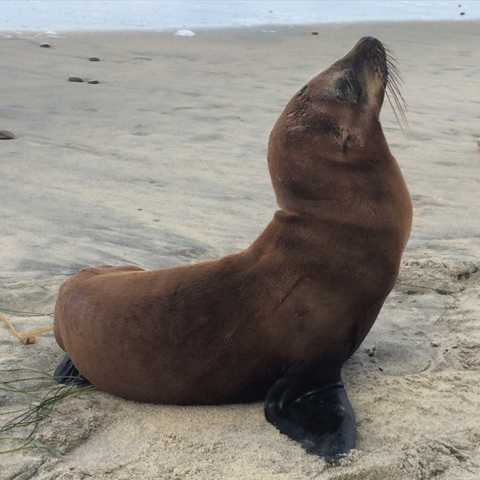 Sea Lion pup at Torrey Pines State Beach