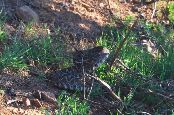 Courtesy of Christine Edelstein - baby Rattler of the Mission Trails