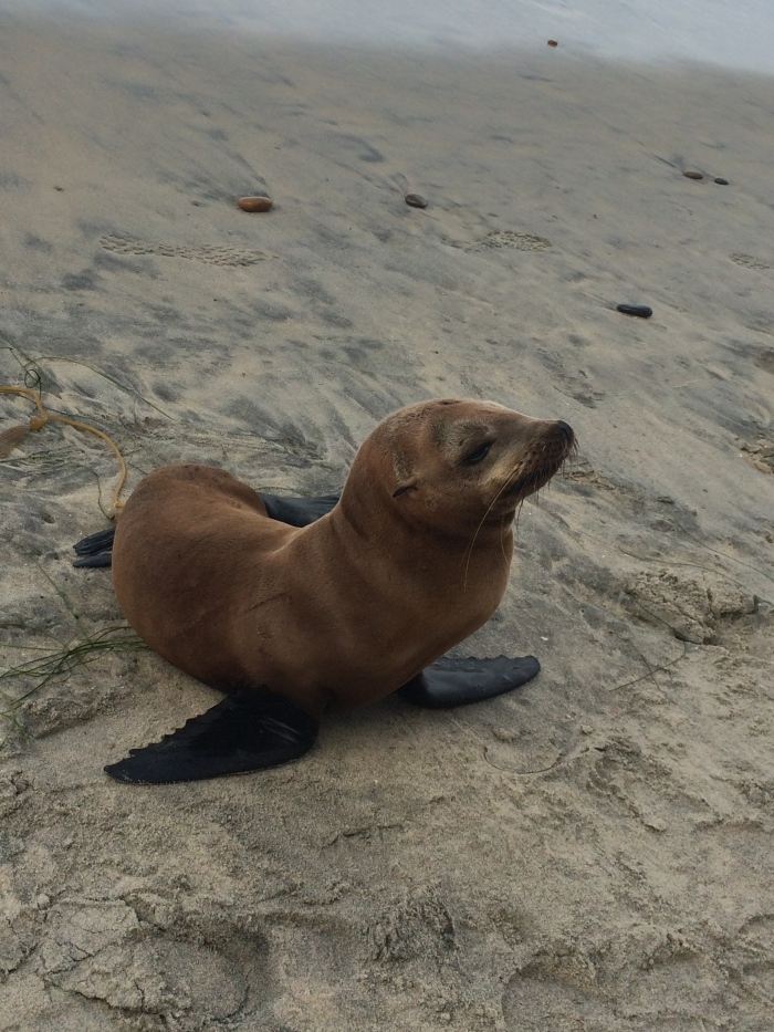 Sea Lion Pup up on the beach