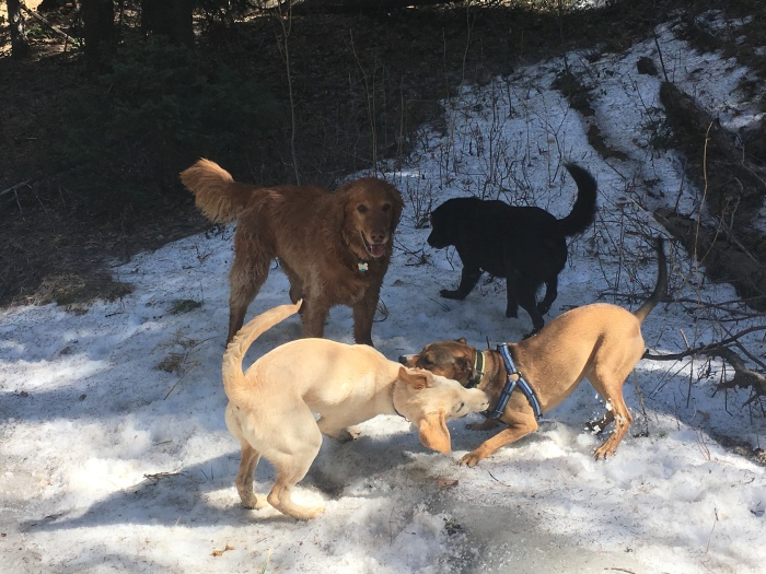 Four pups on a hike playing in the snow